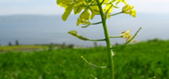 MRPC Launches Web GIS System for Mustard Crop