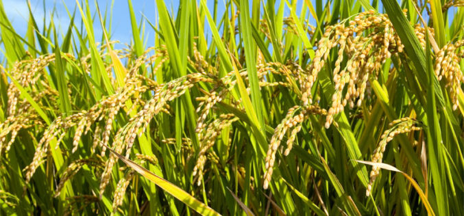 Hyperspectral Remote Sensing Imaging of Rice to Detect Arsenic Contamination