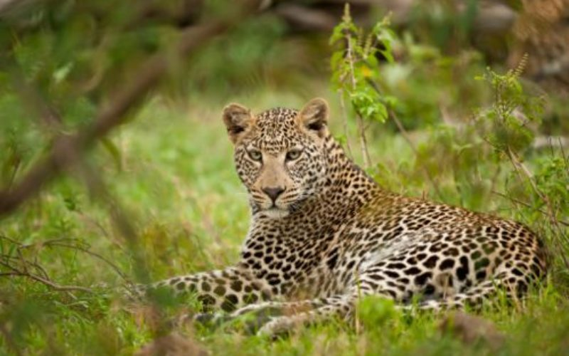First GPS-Collar Study Reveals How Leopards Co-Exist With Humans in India